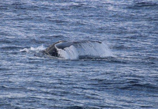 Redcliffe, Australia: Humpback taking a dive
