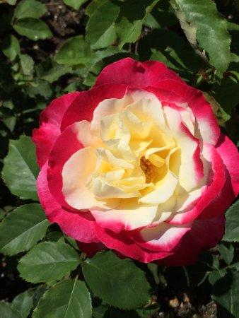 Butchart Gardens: Roses