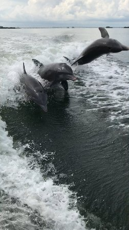 Cortez, FL: Three of the many dolphins chasing our boat