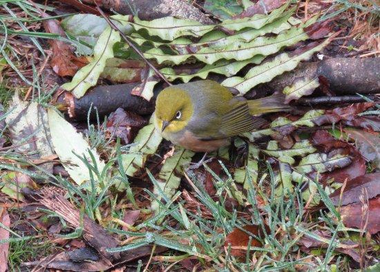 North Island, Nya Zeeland: Tauhou