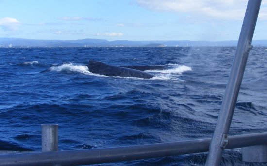 Tweed Heads, Αυστραλία: Two whales close to boat