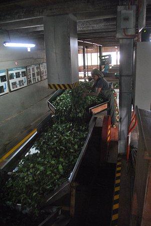 Gampola, Sri Lanka: Sieving the withered tea leaves