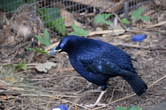 Currumbin, Australia: Bower bird and his collection of blue!