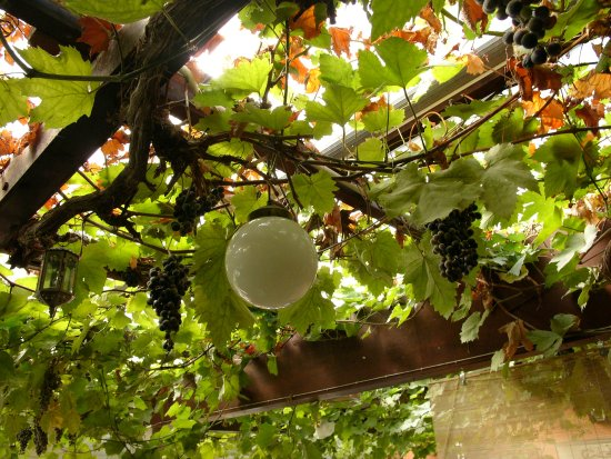 Alderney, UK: Bumps' grape vine inside the bar/restaurant.