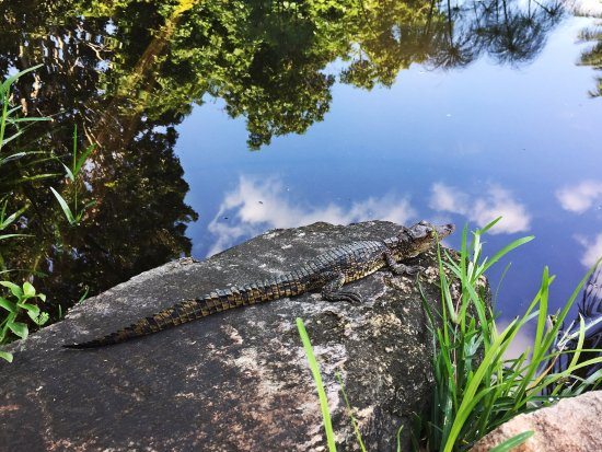 Buhala Lodge: Baby crocodile in our pond