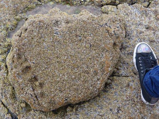 Staffin, UK: Dinosaur footprint (human foor for scale)