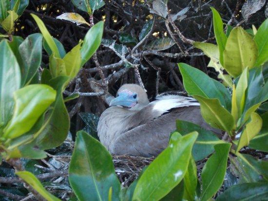 Genovesa, Ecuador: booby