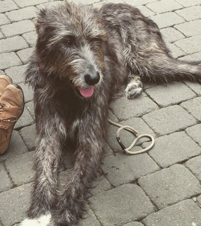 An Irish Wolfhound We Came Upon Picture Of Galway City