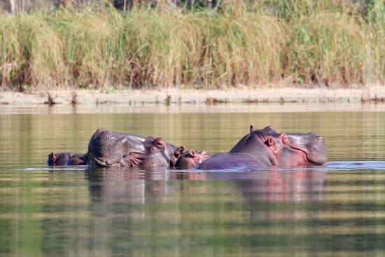 Maputaland Coastal Forest Reserve, Afrika Selatan: Hippo family on Kosi Lake