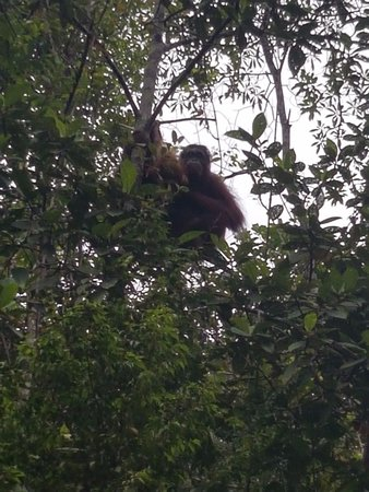 Semenggoh Nature Reserve: Orang Utan auf dem Weg zum Essen