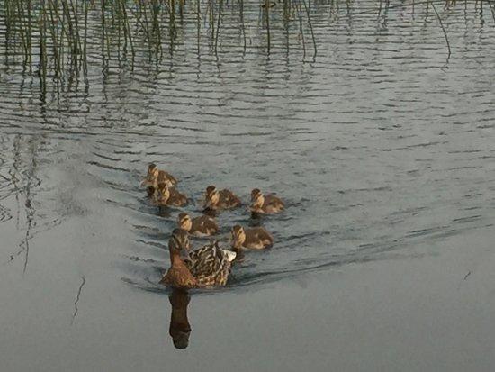 Carson-Pegasus Provincial Park: Family of Ducks