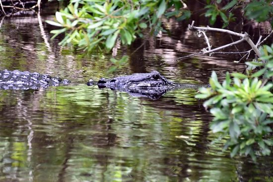 Lake Panasoffkee, FL: One of the larger gators we saw...