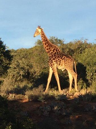 HillsNek Safaris, Amakhala Game Reserve: photo3.jpg