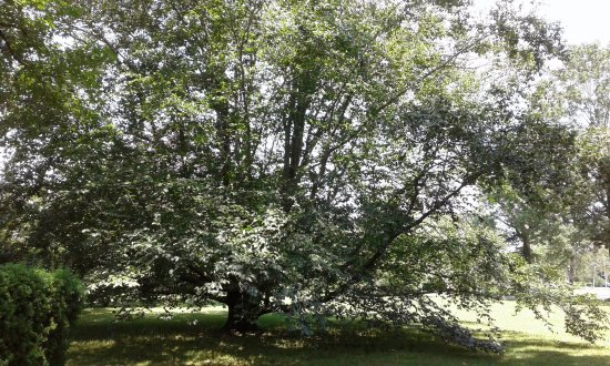 Oyster Bay, NY: Birds Thrive Well Within This Large Tree
