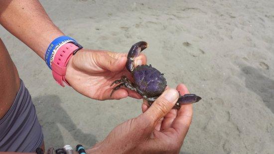 Sunset Beach, NC: A purple crab.