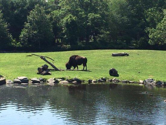 Buttonwood Park Zoo: Bison