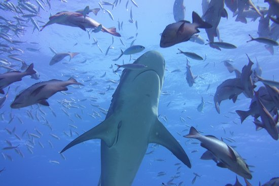Kuata Island, Figi: Bull Shark Feeding