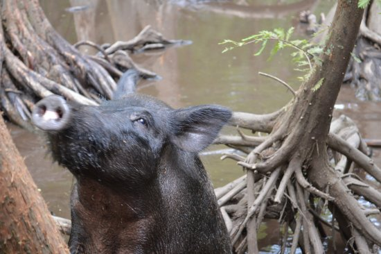 Slidell, LA: Swamp pigs!