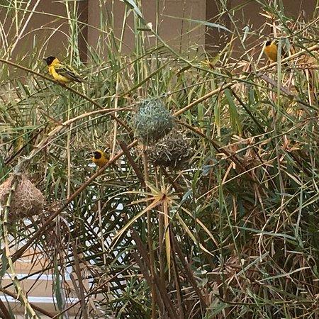 Southern Sun Ridgeway: We enjoyed watching the yellow weavers