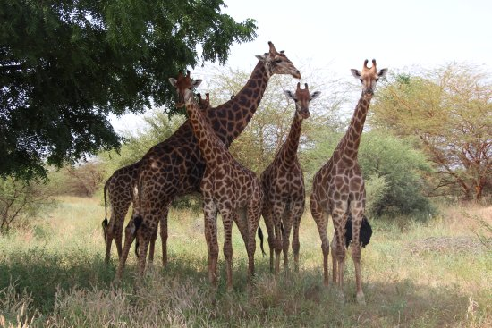 Reserve De Bandia: Girafes réserve de Bandia