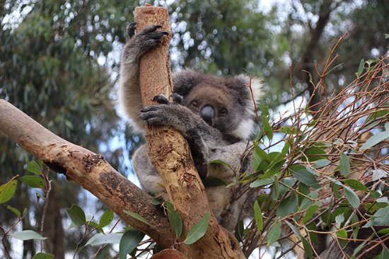 Seddon, Australie : Koala