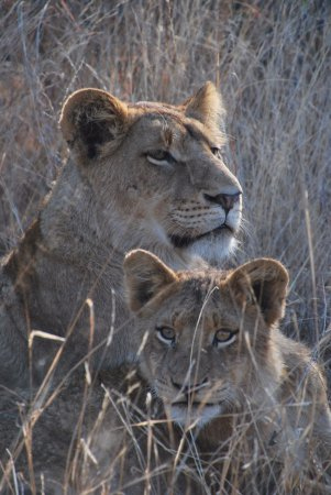 Sabi Sabi Little Bush Camp : These guys strolling by our safari vehicle