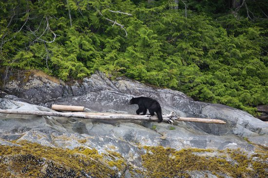 Tide Rip Grizzly Tours: Black bear which had swum between islands