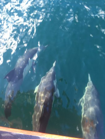 Nelson Bay, Avustralya: A pod of dolphins that joined us for a ride!