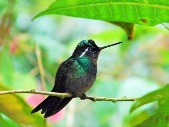 Reserva Biológica Bosque Nuboso Monteverde, Costa Rica: Hummingbird