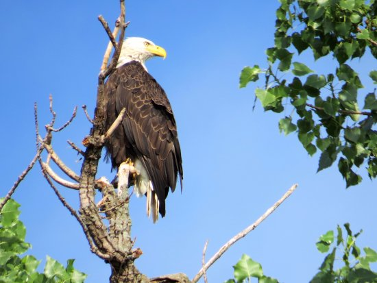 Willows on the River: The resident Eagle..