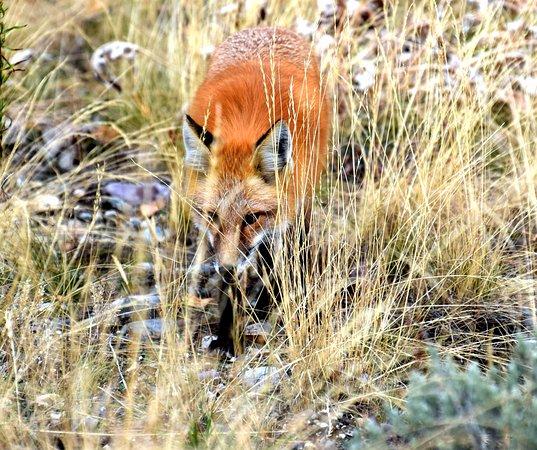 Grand Teton: Beautiful Red Fox