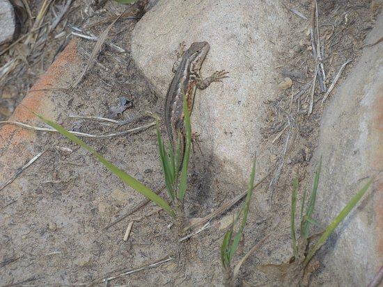 Prater Ridge Trail: Lizzie the Lizard