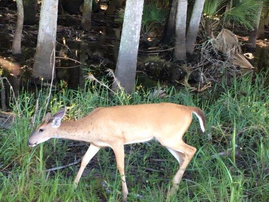 Myakka River State Park: deer feeding
