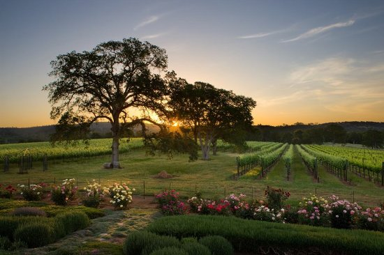 Grass Valley, CA: sunrise on the vineyard