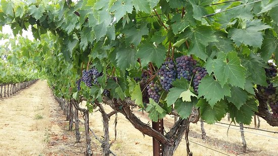 Grass Valley, CA: veraison