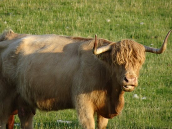 Beautiful Highland Cattle at Lismore House B&B