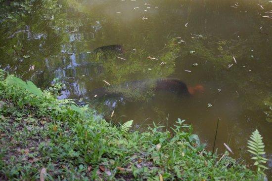 Reserva Biologica Caoba : Arapaima gigas - Pirarucu
