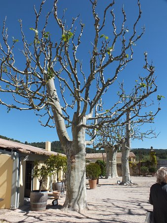 Pertuis, Francia: The courtyard trees in April