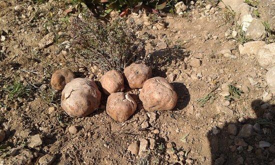 Castalla, إسبانيا: Turmas recolectadas en temporada