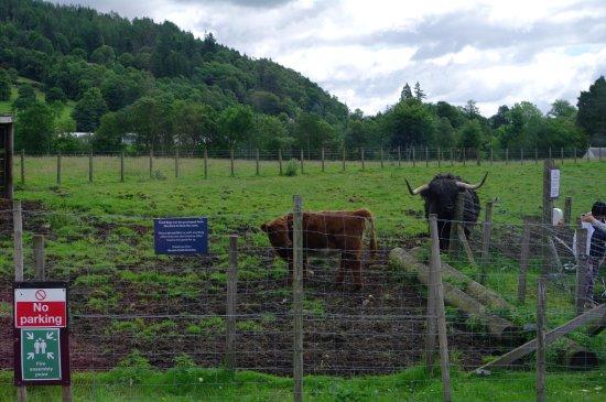 Callander, UK: hairy cows