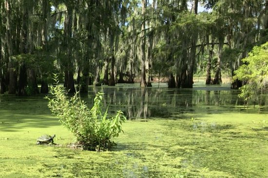 Breaux Bridge, LA: Turtle in Lake Martin