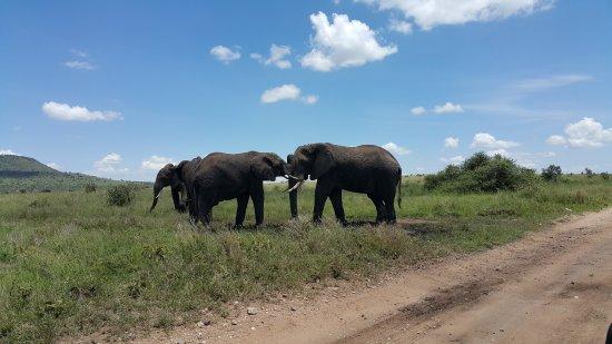 Arusha Region, Tanzania: Elephant in Serengeti