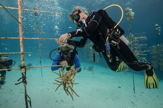 Kralendijk, Bonaire: Coral restoration efforts