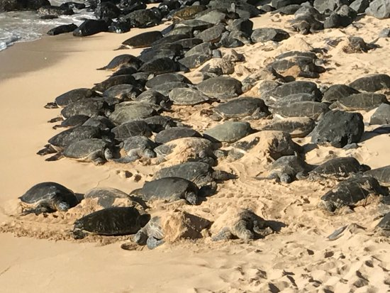 Paia, HI: Sleepy Green Sea Turtle Siesta!!