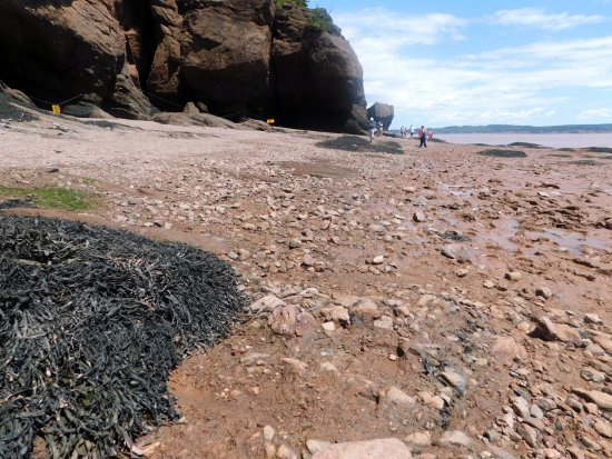 Hopewell Cape, Canada: The ground you will walk on at low tide. Bare feet and flip flops are not recommended. It is roc