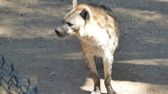 Oakland, CA: I had never seen a hyena in the flesh before. This fellow is about 2 feet tall at the shoulder.