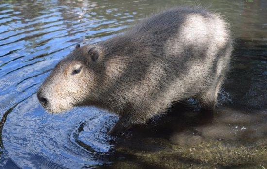 Lake Country, Kanada: Capybara