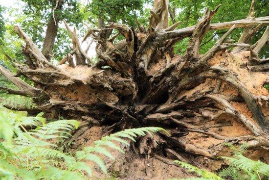 Virginia Water, UK: Tree Roots!