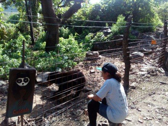 Tucume, Peru:  muestra del osos de anteojo en la Reserva ecológica de cHappri