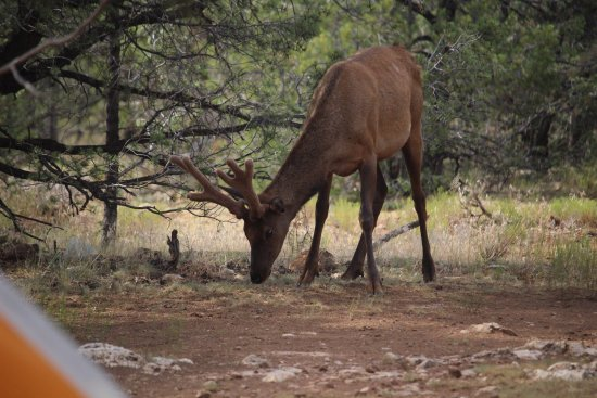 Mather Campground: Elk will come into your campsite!